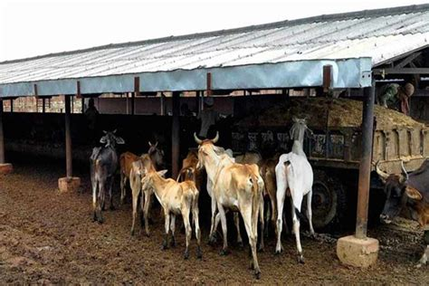officials suspended  allegations   cows