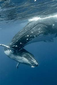 Humpback mom & baby whales | Whales | Pinterest
