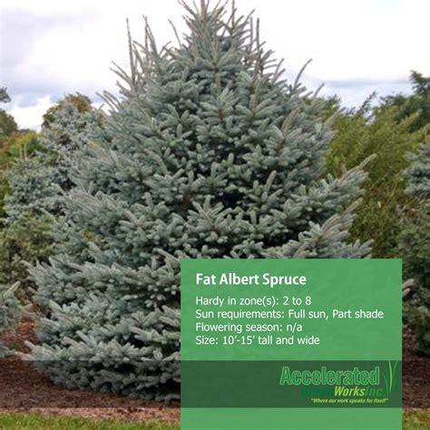 fat albert spruce evergreens pinterest evergreen