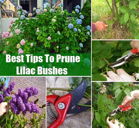how to trim a bush pruning lilac trees music search engine at search com