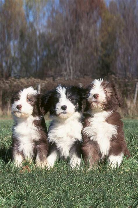 bearded collie dog breed information