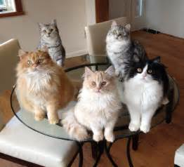 manx cat manx cats auragold manx and cymric cats