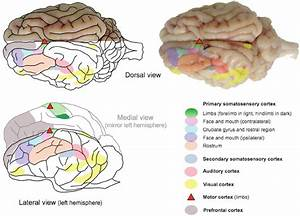 Dorsal  Lateral And Medial  Left Hemisphere  Views Of The