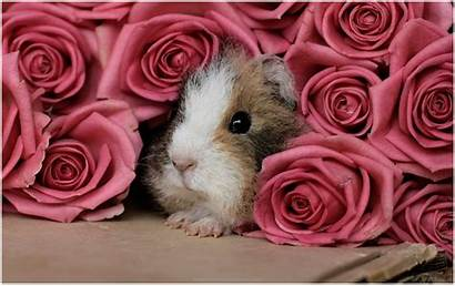 Pig Guinea 4k Pigs Wallpapers Background Pink