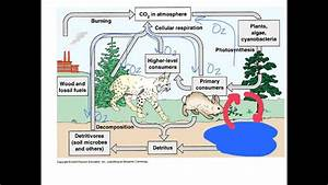 Unit 1 5 The Carbon  U0026 Nitrogen Cycles