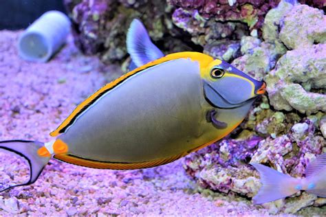 fish marine tang naso blonde absolutely absolutelyfish