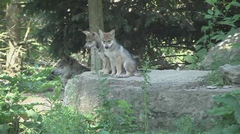 wolf mexican gray zoo puppies brookfield pups names illinois announces born pets