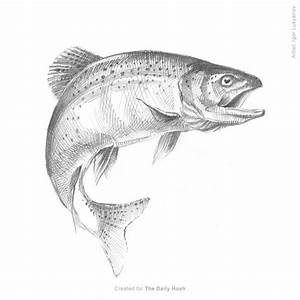 Fish Sketch (Trout)