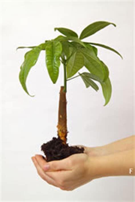 Zimmerpflanzen Schattiger Standort by Pflanzen F 252 R R 228 Ume Mit Wenig Licht Hausgarten Net