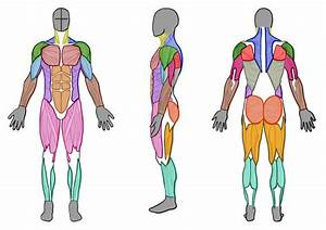 Male Muscle Anatomy  Front  Side And Back  By Artistsaif