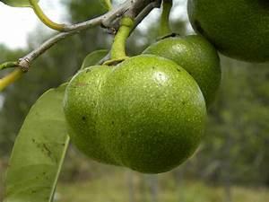 Leon Levy Native Plant Preserve - Plant Listings - Annona ...