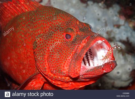 grouper teeth tomato cod cephalopholis fish having its cleaner shrimp mouth alamy cleaned shopping cart
