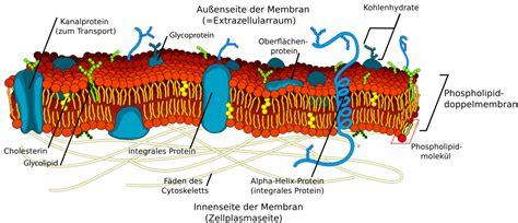 freies lehrbuch biologie  die zellmembran und
