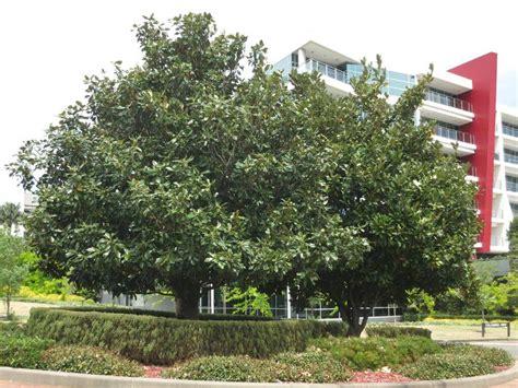 magnolia tree australia magnolia exmouth magnolia grandiflora exmouth evergreen growers