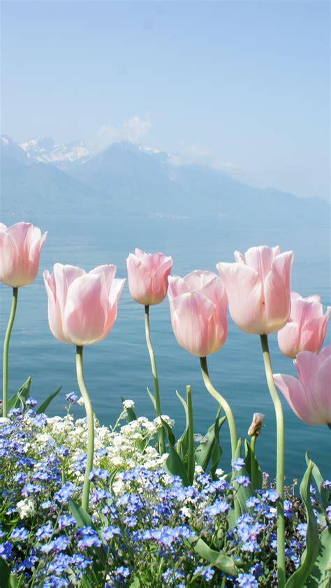 wallpaper tulip  hd wallpaper spring flowers