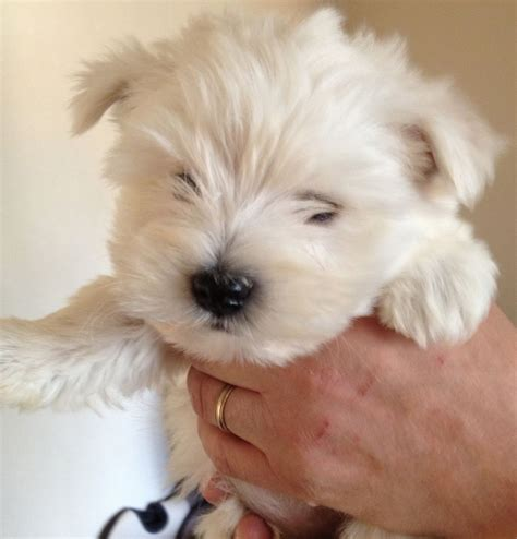 Westie Puppies For Sale  Stoke On Trent, Staffordshire
