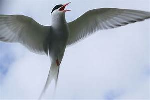 The arctic tern - Google Search | arctic tern | Pinterest ...