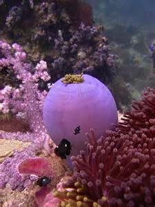 Purple Sea Anemone Clownfish