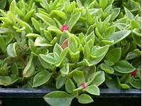 succulent ground cover Succulent Ground Cover on Pinterest | Delosperma Cooperi ...