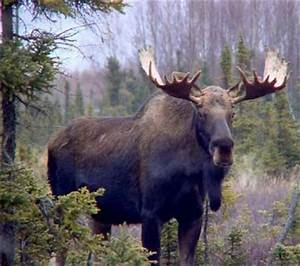 Canadian Moose Pictures | Fun Animals Wiki, Videos ...