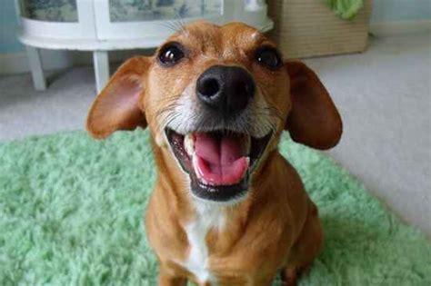 Rat Terrier Shedding by Dorkie Dorkies Dachshund Yorkie Hybrid Image Breeds