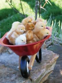 Wheelbarrow Chicken