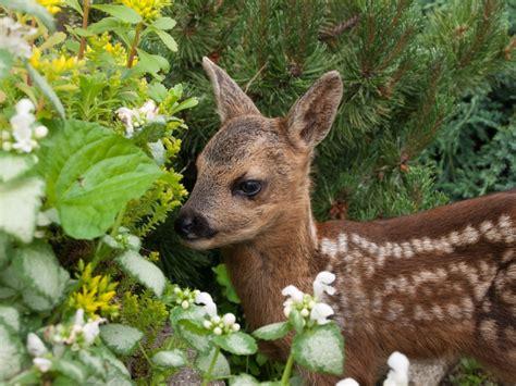 Welches Tier Frisst Pilze Im Garten by Rehe Im Garten Was Hilft Wirklich Leonhards