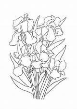 Coloring Iris Bouquet Flowers Flower Sheet Clipartqueen sketch template