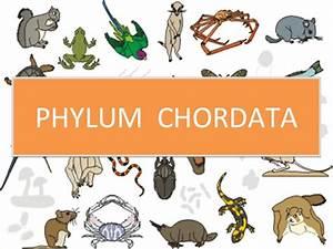 Phylum chordata  Phylum