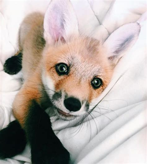 how cute pet foxes steal your heart