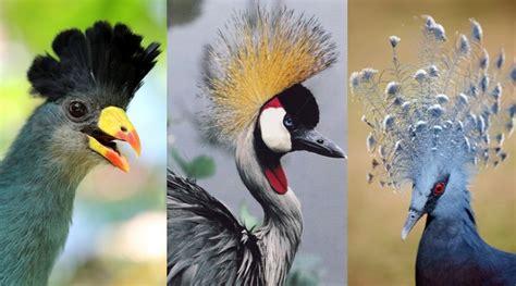top  beautifully crowned birds  beautiful birds