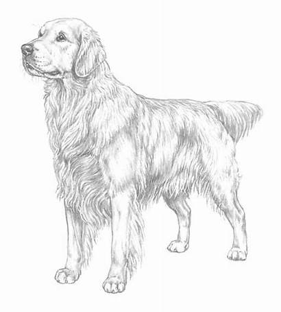 Coloring Retriever Golden Pages Printable Puppy Realistic