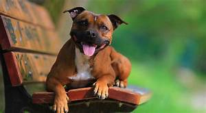 Staffordshire Bull Terrier Breed Information  Photos