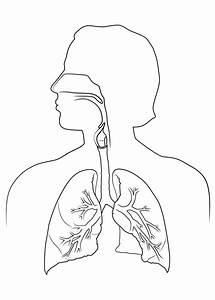The Respiratory System  Anatomy Sketch