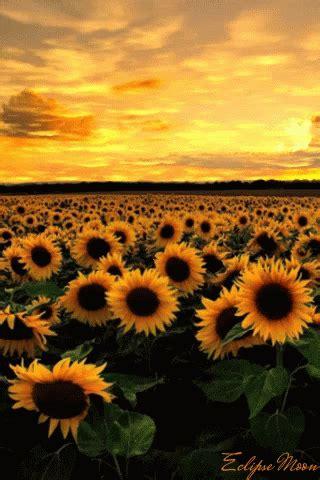 sunflower gifs tenor