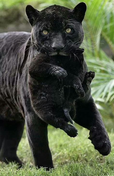 Black Panther And Cub Meow Pinterest
