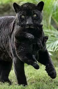 Black panther & cub   Meow   Pinterest