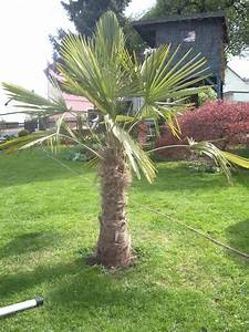 Trachycarpus Fortunei Auspflanzen : trachycarpus fortunei mit gelben wedeln und keinem wachstum seite 1 winterharte palmen ~ Eleganceandgraceweddings.com Haus und Dekorationen