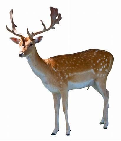 Deer Transparent Background Animals Reindeer Pngpix Animal