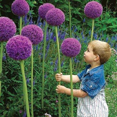 new 10pcs purple allium giganteum flower seeds