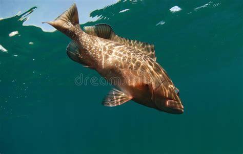 fish grouper swimming ocean underwater water