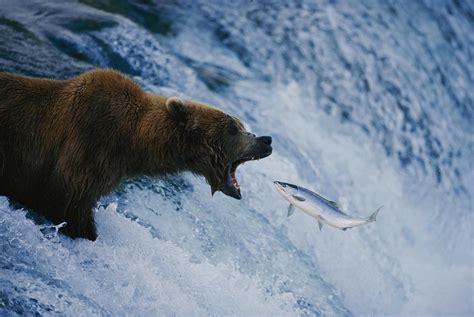 Salmon Fishing, Brooks Falls, Katmai National Park, Alaska