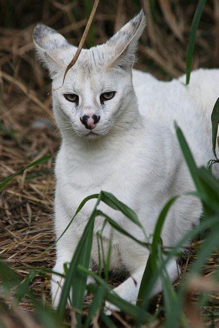 Pharaoh White Serval Wild Cats Exotic