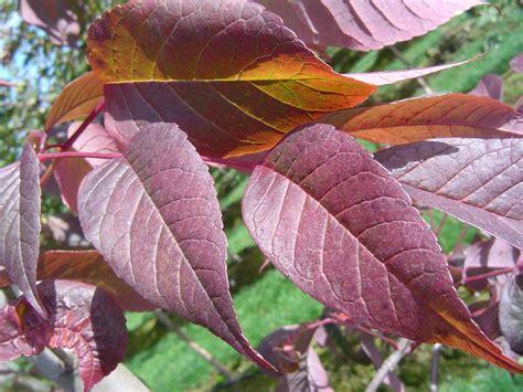 tree with purple leaves tree profile for the autumn purple ash urban forest nursery inc