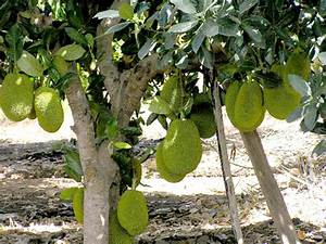 One potted Jackfruit seedling 1 y.o. / Artocarpus ...