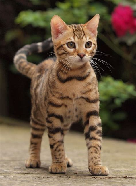 beautiful bengal pets pinterest katzen tier und