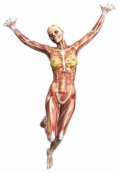 Skeleton Female Muscles Anatomy Muscoli Muscular Island