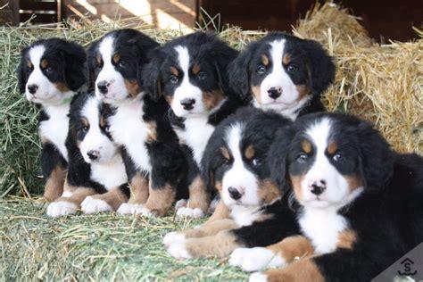 Veja Fotos De Fil Es De Bernese Mountain Dog E De Caes