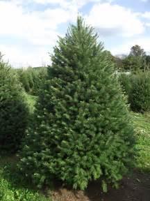 douglas fir pseudotsuga menziesii worcester county conservation district