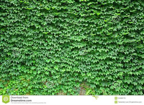 boston ivy texture stock photo image  shiny foliage